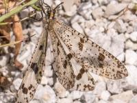 Antlion (Palpares libelluloides)