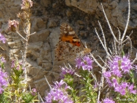 The migratory Painted Lady (Vanessa cardui)