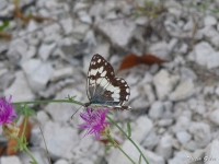 Balkan Marbled White (Melanargia larissa)