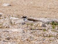 Little Ringed Plover - Almyros