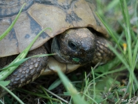 Close up of Hermanns Tortoise