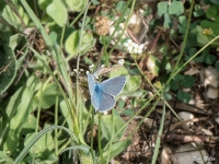 Common Blue Butterfly (?)