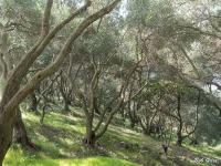 Olives, Pelekas