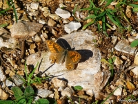 Tatty Meadow Brown Butterfly