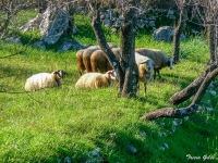 Sheep, Loutses