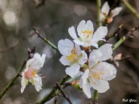 Almond Blossom, December