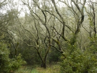 Olive Grove, Nymfes