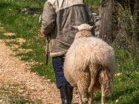 One Man and his Sheep