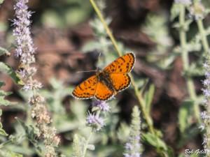 Spotted Fritillary (Melitaea didima).